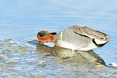 Pato adornado Fotografia de Stock