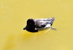 Pato adornado Imagem de Stock Royalty Free