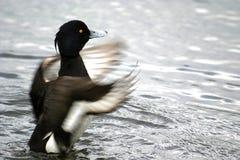 Pato adornado de vibração Fotos de Stock Royalty Free