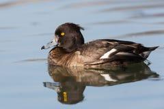 Pato adornado fêmea (fuligula do Aythya) Imagem de Stock