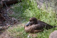 Pato adornado Fuligula do Aythya fotografia de stock