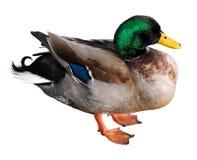 Pato aislado del pato silvestre fotografía de archivo