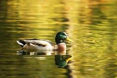 Pato aislado que disfruta de otoño fotos de archivo libres de regalías