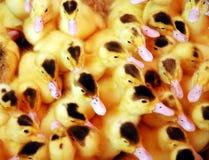 Pato amarelo Imagem de Stock Royalty Free