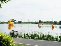 Pato amarelo da família na água Foto de Stock