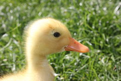Pato amarelo do bebê Fotos de Stock