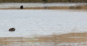 pato Amarillo-cargado en cuenta que alimenta en el lago