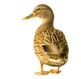 Pato amistoso aislado en blanco Foto de archivo libre de regalías