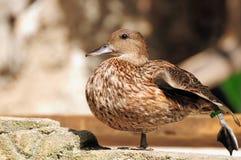 Pato asiático Fotografia de Stock Royalty Free