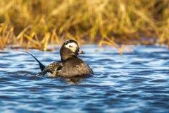 Pato atado largo masculino Fotos de archivo