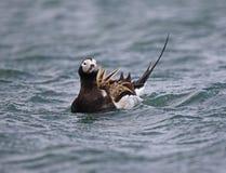 Pato atado largo (Oldsquaw) foto de archivo