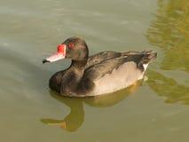 Pato de Rosybill imagen de archivo