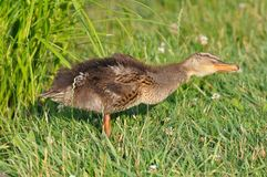Pato, bebê do pato, família do pato imagem de stock