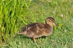 Pato, bebê do pato, família do pato imagens de stock
