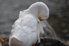 Pato blanco fotos de archivo libres de regalías
