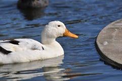 Pato blanco Foto de archivo libre de regalías