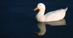 Pato blanco Fotos de archivo