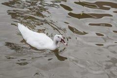Pato blanco Imagenes de archivo