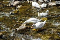 Pato blanco Imagen de archivo libre de regalías