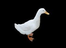 Pato blanco Imágenes de archivo libres de regalías