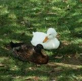 Pato blanco con cresta que se sienta con el pato marrón fotografía de archivo libre de regalías