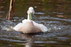 Pato blanco con la cuenta verde que salpica en el agua Imagen de archivo libre de regalías