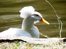 Pato blanco con una natación del pompom fotos de archivo
