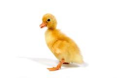 Pato blanco del gallo de la llamada Imagenes de archivo