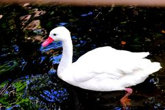 Pato blanco en agua Imágenes de archivo libres de regalías