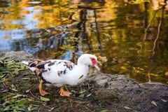Pato blanco en curso a lo largo de la orilla del lago; Hojas caidas otoño; Colores brillantes del otoño reflejados en el agua Fotos de archivo libres de regalías