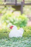 Pato blanco en hierba Imagen de archivo libre de regalías