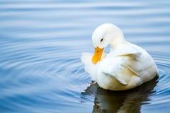 Pato blanco en la piscina, chiangmai Tailandia Imagenes de archivo