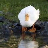 Pato blanco por la charca Foto de archivo