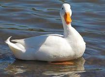 Pato blanco prístino Imagenes de archivo
