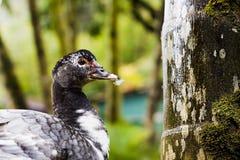 Pato bonito foto de stock