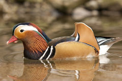 Pato bonito Fotos de Stock Royalty Free