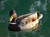 Pato bonito Fotografia de Stock Royalty Free