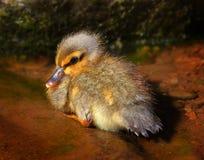 Pato bonito do bebê Imagens de Stock Royalty Free