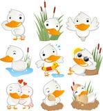 Pato bonito em coleção ajustada da ação Fotografia de Stock