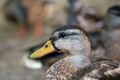 Pato bonito em Michigan fotografia de stock