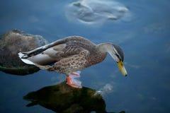 Pato bonito en agua fría Foto de archivo