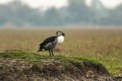 pato Botão-faturado, melanotos de Sarkidiornis, Bharatpur, Rajasthan, Índia foto de stock