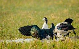 pato Botón-cargado en cuenta que estira las alas Foto de archivo