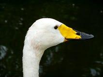 Pato branco imagem de stock