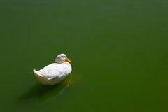 Pato branco fotografia de stock royalty free