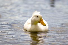 Pato branco Imagem de Stock Royalty Free