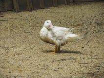 Pato branco Fotos de Stock