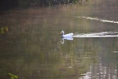 Pato branco fotografia de stock