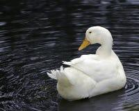 Pato branco de Pekin imagens de stock royalty free