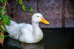 Pato branco em uma lagoa Imagens de Stock